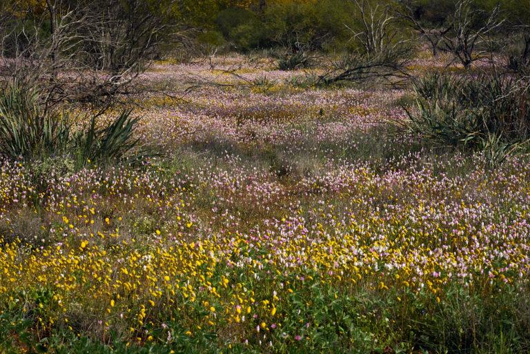 Field of Flowers - 7624