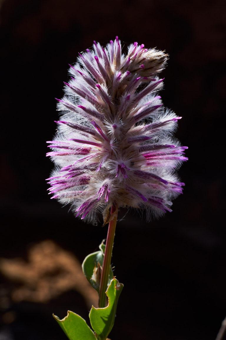 Mulla Mulla flower - 8070