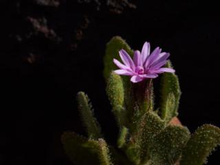 Tiny Succulent - 8071
