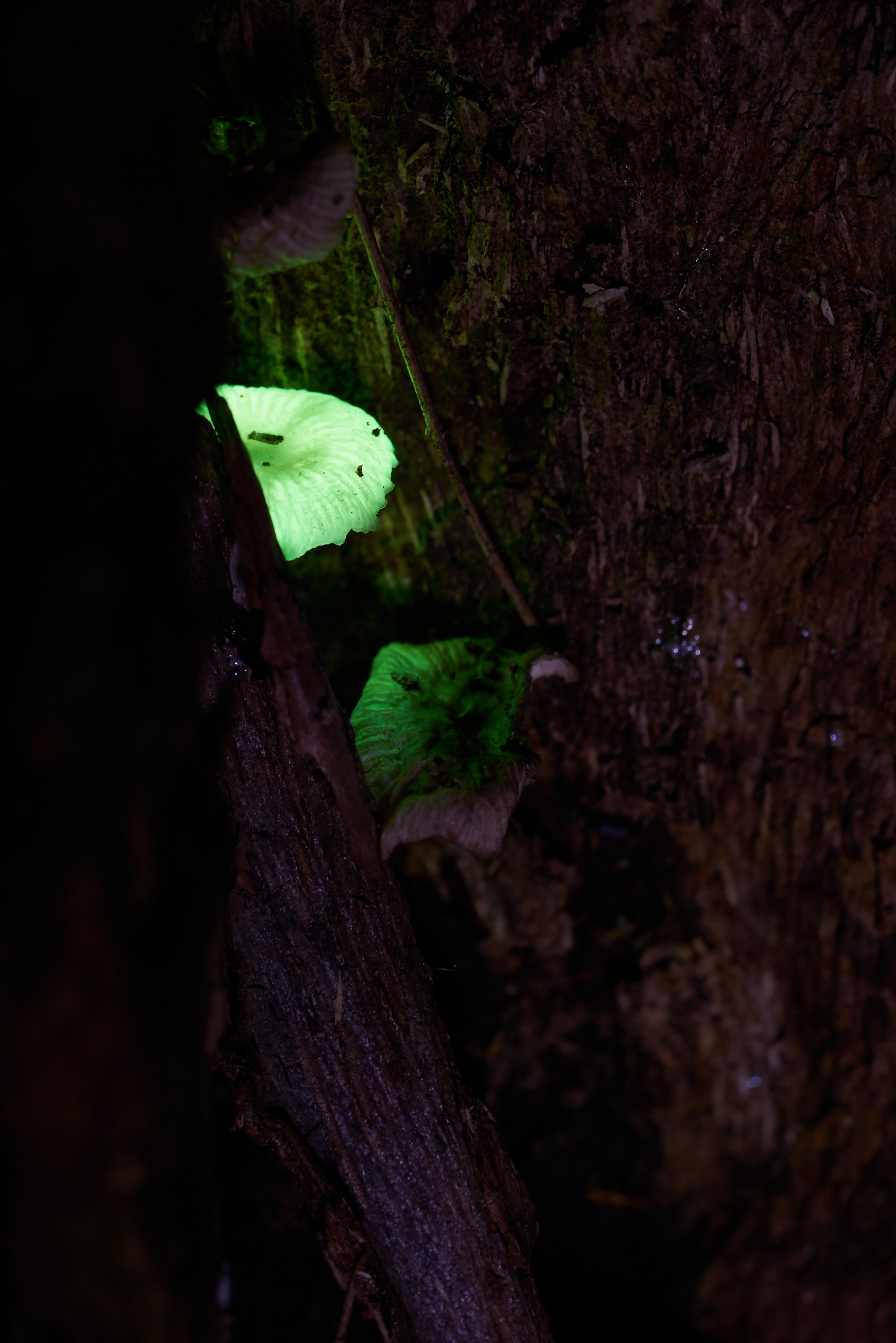 Luminous Fungi